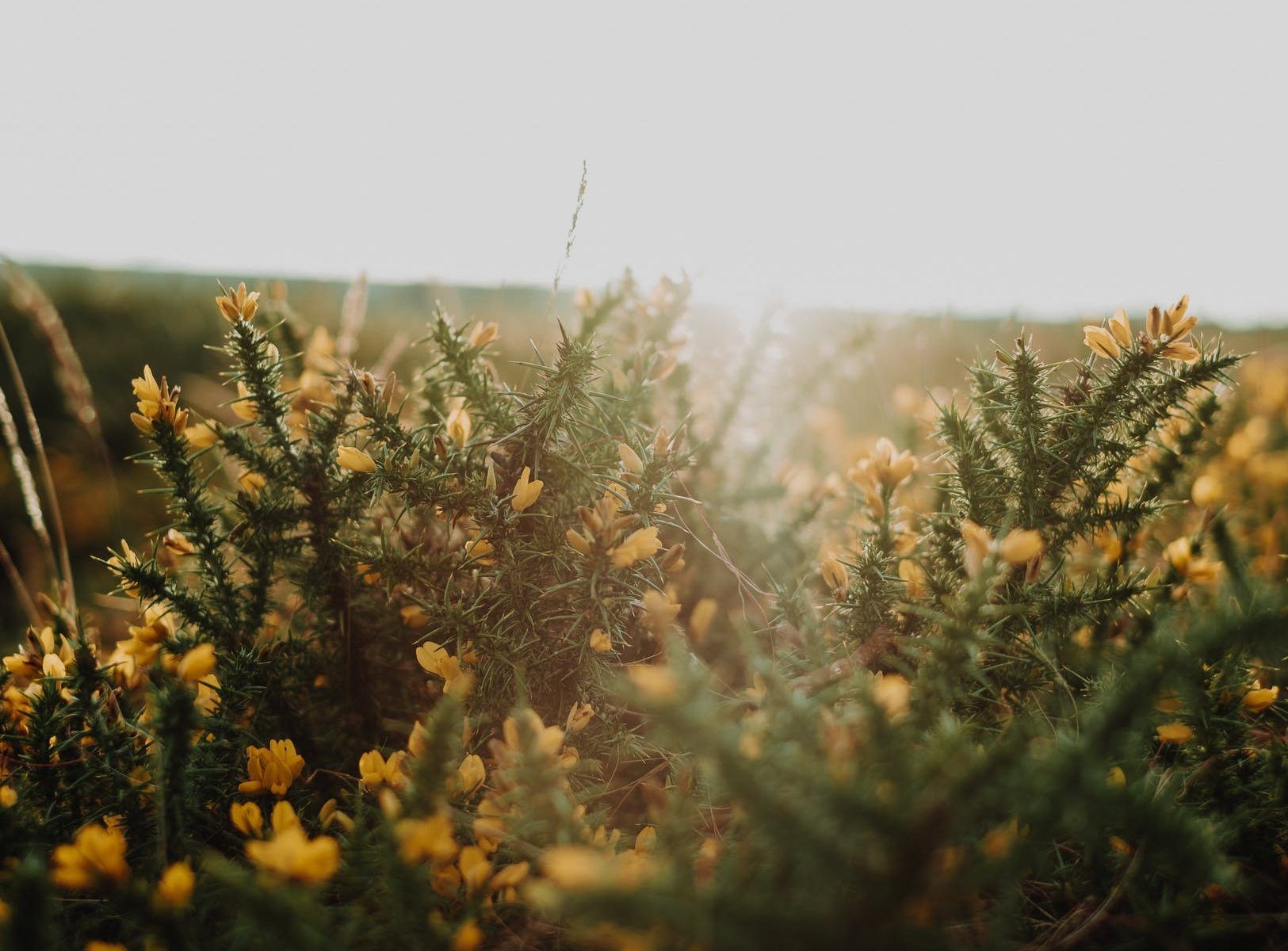 spiny shrub with yellow flowers of gorse plant growing in field